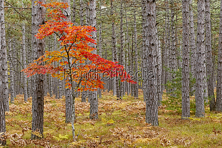 maple tree with autumn colors in