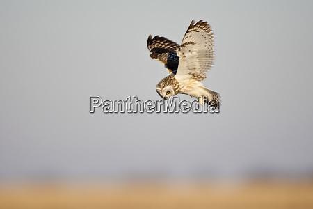 short eared owl asio flammeus in