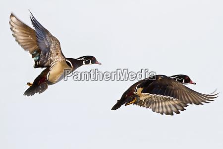 wood ducks aix sponsa two males