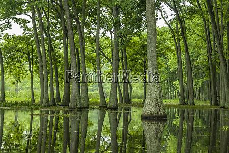 usa louisiana millers lake tupelo trees