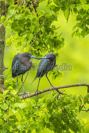 usa louisiana jefferson island little blue