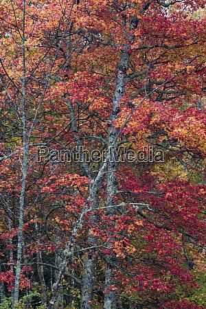 usa maine autumn foliage sugar maple