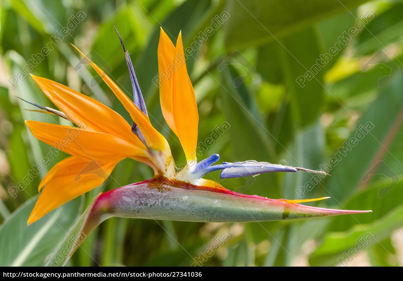 bird, of, paradise, (strelitzia, reginae), in - 27341036