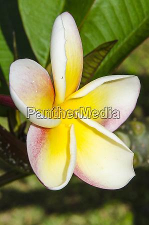 frangipani, (plumeria), in, na, aina, kai - 27341031
