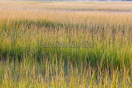 grass in a tidal marsh along