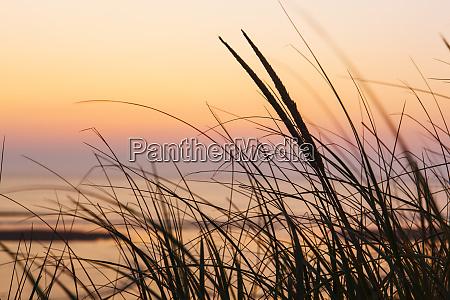 dune grasses at coast guard beach