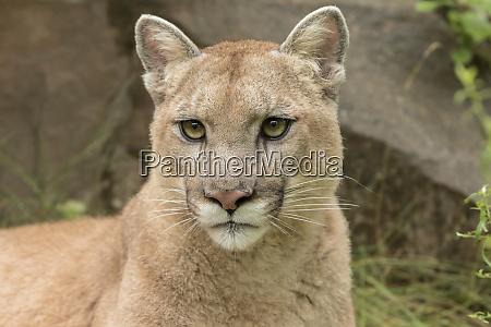 adult mountain lion puma concolor minnesota