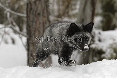 silver fox a melanistic form of