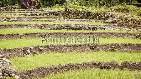 typical idyllic agricultural rice fields landscape