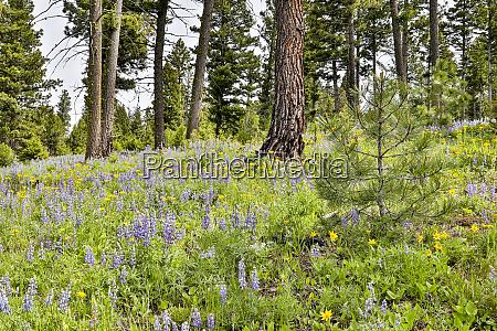 usa montana garnet field of flowers