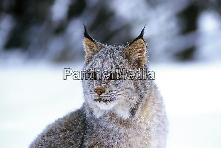 canadian lynx lynx canadensis is a