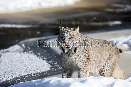 usa minnesota sandstone lynx patiently waiting