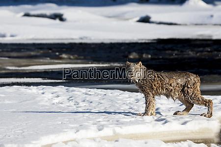 usa minnesota sandstone lynx just out