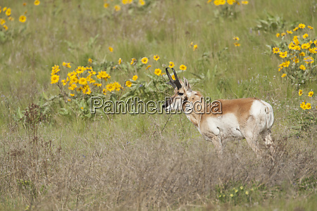 national bison range montana usa pronghorn