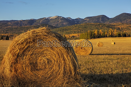 hay bales in autumn in whitefish