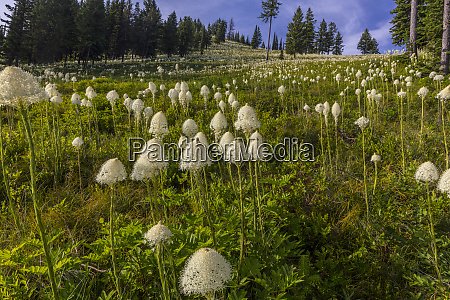 epic bear grass bloom on big