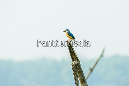kingfishers or alcedinidae bird it is