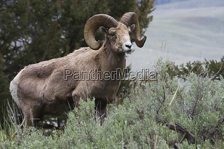 rocky mountain bighorn sheep ram