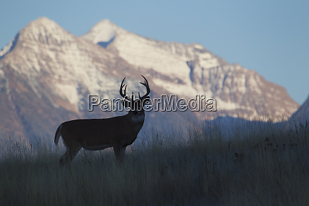 white tail deer buck silhouetted against
