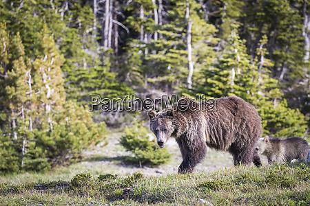 grizzly bear mom cub montana