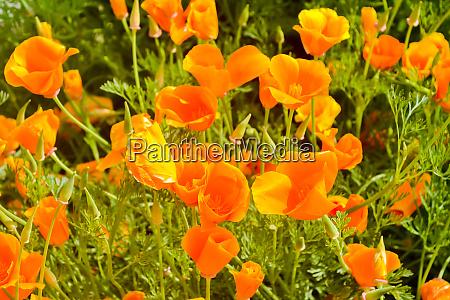 california poppy eschscholzia californica is a