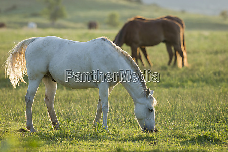 horses grazing before sunset philmont scout