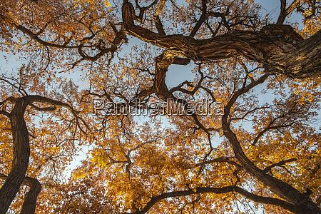 cottonwood trees in fall foliage rio