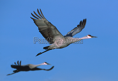 sandhill crane grus canadensis in flight