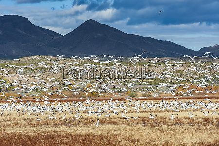 snow geese flying bosque de apache