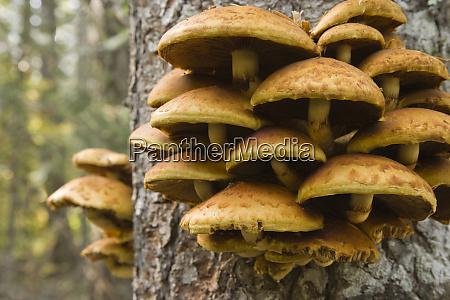 usa oregon honey mushrooms grow on
