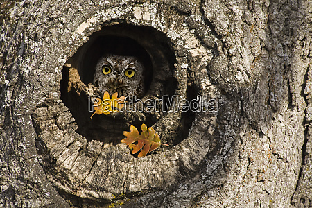 usa oregon mosier screech owl occupies