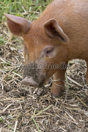new york baby pig