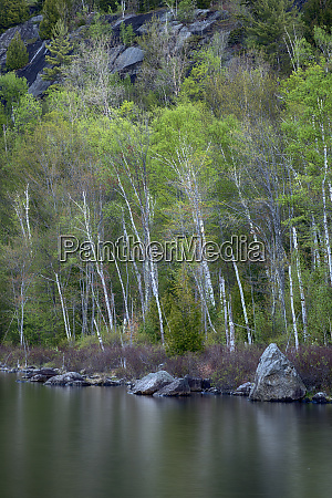 usa new york state birch trees