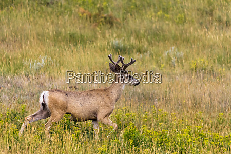 whitetail deer with velvet antlers in