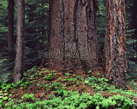 usa oregon willamette national forest large
