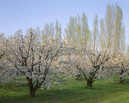 usa oregon columbia river gorge flowering