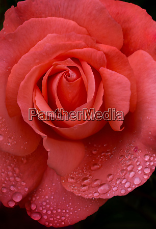 usa oregon orange rose with rain