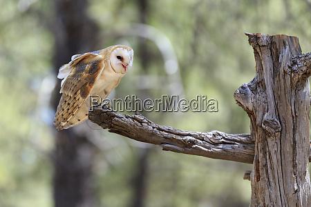 usa oregon bend captive barn owl