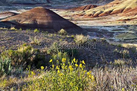 yellow flowers in painted hills john
