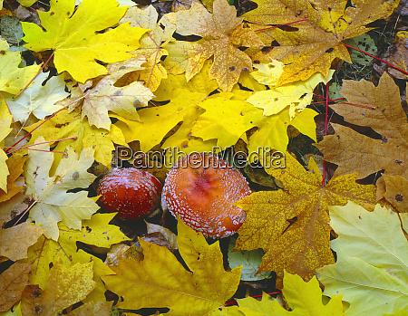 usa oregon willamette national forest amanita