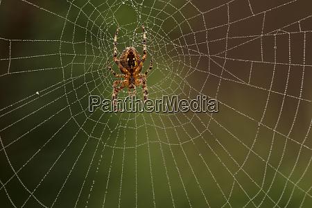 usa oregon keizer araneus species