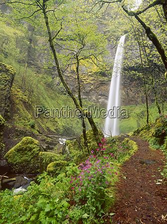 elowah falls everlasting pea lathyrus latifolius