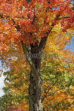 usa pennsylvania autumn foliage of red