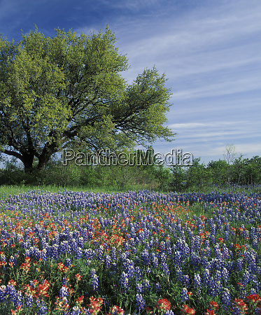 usa texas hill country texas paintbrush