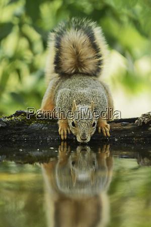 eastern fox squirrel sciurus niger adult