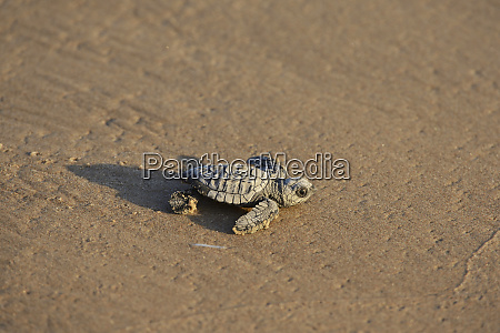 kemps ridley sea turtle lepidochelys kempii