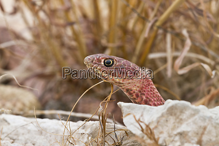 western coachwhip masticophis flagellum red colored