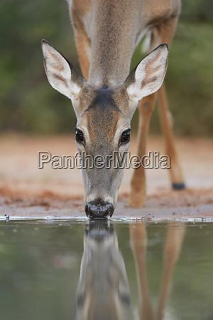white tailed deer odocoileus virginianus adult