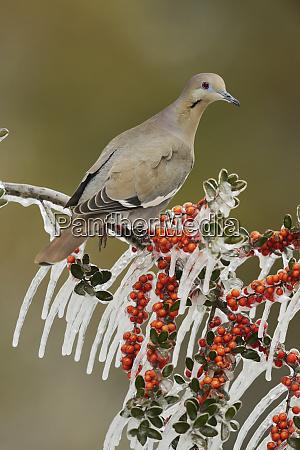 white winged dove zenaida asiatica adult