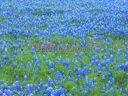 springtime bloom of bluebonnets and paintbrush